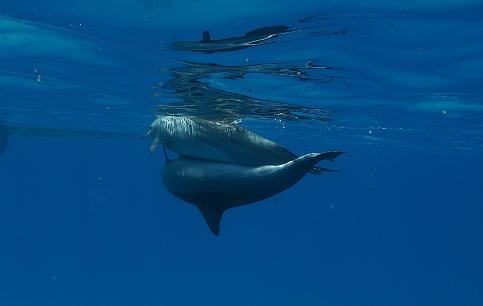 Дайвинг сафари Красное море дельфины